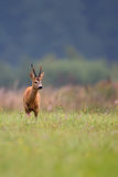 Олени самца оленя в расчистке Стоковое Изображение RF