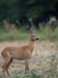 Олени самца оленя в расчистке Стоковые Изображения RF
