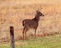 Олени самца оленя Whitetail Стоковое Изображение