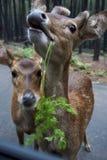 олени смешные Стоковое фото RF