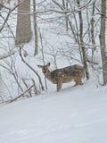 Олени снега Стоковое фото RF