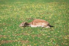Олени спать стоковое фото rf