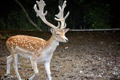 Олени с большими antlers стоковые изображения