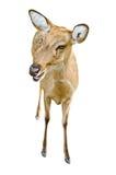 Олени стоковое изображение