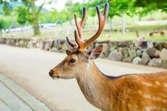 Олени Majestetic в парке Nara, Японии стоковые изображения rf