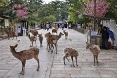 Олени Nara, Япония Стоковая Фотография
