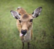 Олени Nara Стоковая Фотография