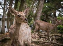 Олени Nara стоковые фото