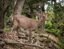 Олени Nara стоковое изображение rf