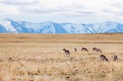 Олени pasturing на пустыне острова антилопы стоковая фотография rf