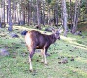 Олени Sambar на заповеднике такина Motithang, Тхимпху, Бутане Стоковое фото RF
