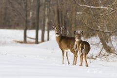 Олени Whitetail в зиме Стоковые Изображения
