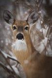 Олени Whitetail в зиме Стоковые Изображения RF