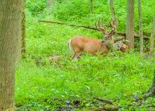 Олени Whitetail Buck в бархате стоковые изображения