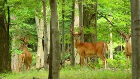 Олени Whitetail Buck в бархате сток-видео