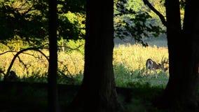 Олени Whitetail Buck в бархате акции видеоматериалы