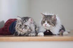 Оденьте ваших красивых котов стоковые фото