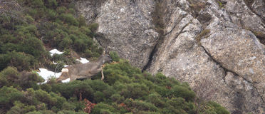 Олень козуль на беге Стоковые Изображения