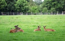 4 оленя косуль сидя в зеленом поле Стоковое Фото