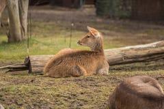 2 оленя на зоопарке в Берлине Стоковая Фотография RF