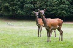 2 оленя Стоковая Фотография RF