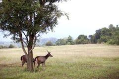 2 оленя Стоковое Изображение