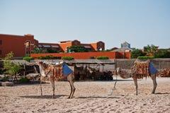 2 одетых верблюда на пляже на песке Стоковые Изображения RF
