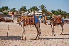 2 одетых верблюда на пляже на песке Стоковое Изображение