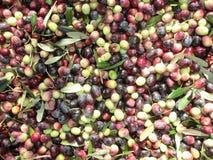 Оливка жать в осени Стоковая Фотография