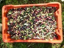 Оливка жать в осени Стоковые Фото
