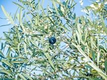 Оливка на ветви оливкового дерева Стоковая Фотография RF