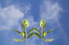 Оливка на ветви стоковые фото
