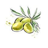Оливки акварели вектора Иллюстрация штока