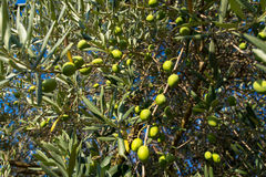 Оливки в Провансали Стоковое Фото