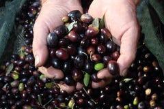 Оливки в руках фермера стоковые фотографии rf