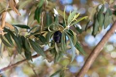 Оливки на вале Стоковые Фотографии RF