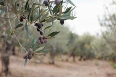 Оливки на ветви оливкового дерева Крупный план детали зеленых оливок с селективным фокусом Стоковые Изображения RF