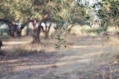 Оливки на ветви оливкового дерева Крупный план детали зеленых оливок с селективным фокусом Стоковые Изображения