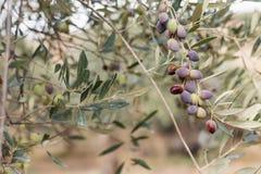 Оливки на ветви оливкового дерева Крупный план детали зеленых оливок с селективным фокусом Стоковое Фото