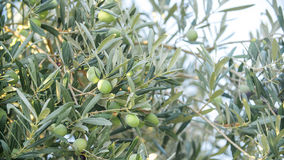 Оливки на ветви оливкового дерева Стоковое Изображение