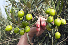 Оливки на ветви Стоковая Фотография RF