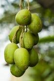 Оливки на ем ветвь дерева Стоковая Фотография
