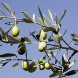Оливки на дереве стоковые фото
