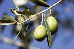Оливки на дереве стоковая фотография