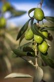 Оливки на дереве в Thassos, Греции Стоковые Фотографии RF