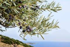Оливки на дереве Стоковое Изображение
