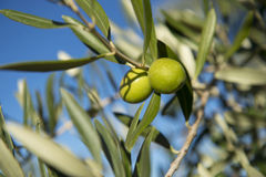 Оливки на оливковом дереве в осени. Изображение природы сезона Стоковая Фотография RF