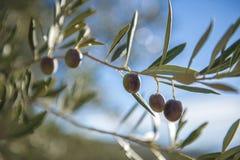 Оливки на оливковом дереве в осени. Изображение природы сезона Стоковое Изображение RF