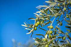 Оливки на оливковом дереве в осени. Изображение природы сезона Стоковое Изображение