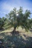 Оливки на оливковом дереве в осени. Изображение природы сезона Стоковое фото RF